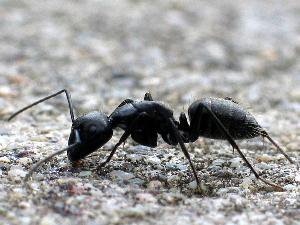 comment lutter contre les fourmis. Black Bedroom Furniture Sets. Home Design Ideas